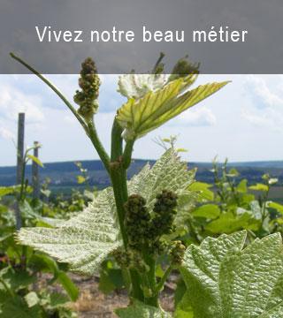 Balade vignes Gîte Vandières 1